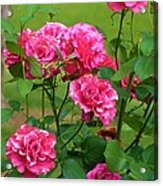 Double Roses Acrylic Print