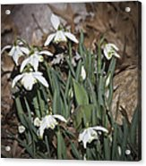 Double Snowdrops Squared Acrylic Print