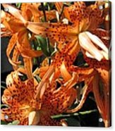 Double Tiger Lily Named Flora Pleno Acrylic Print