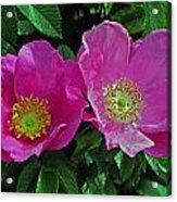 Double Wild Rose Acrylic Print