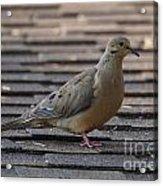 Doves Acrylic Print