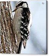Downy Woodpecker 4 Acrylic Print