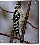 Downy Woodpecker 7 Acrylic Print
