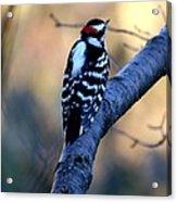 Downy Woodpecker Acrylic Print