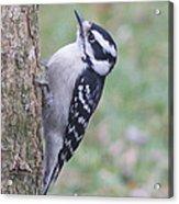 Downy Woodpecker On Dogwood Acrylic Print