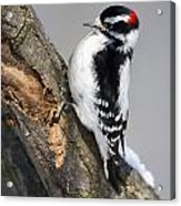 Downy Woodpecker Perched In A Tree Acrylic Print