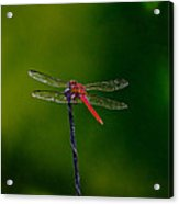 Dragon Fly At Rest Acrylic Print by David Alexander