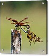 Dragon Fly Love Acrylic Print