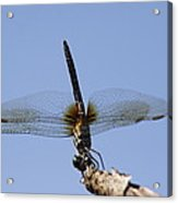 Dragonfly - Handstand Acrylic Print