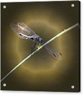 Dragonfly 1 Acrylic Print by Judith Szantyr
