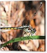 Dragonfly Closeup Acrylic Print
