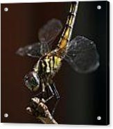 Dragonfly Handstand Acrylic Print