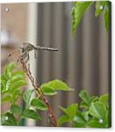 Dragonfly In Nature Acrylic Print
