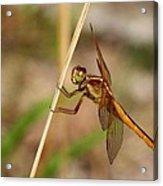 Dragonfly Looking At You Acrylic Print