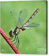 Dragonfly On A String Acrylic Print