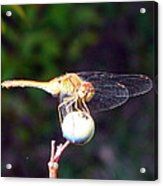 Dragonfly On Sphere Acrylic Print by Mark Haley