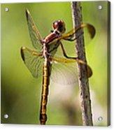 Dragonfly Photo - Yellow Dragon Acrylic Print