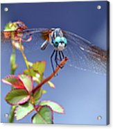 Dragonfly Visit Acrylic Print