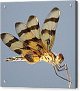 Dragonfly With A Little Girl's Face Acrylic Print
