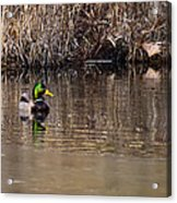 Drake In The Pond Acrylic Print