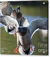 Dramatic Ducks Acrylic Print