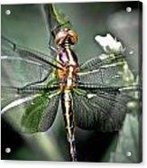Drangonfly Acrylic Print
