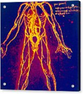 Drawing Of Human Venous System (leonardo Da Vinci) Acrylic Print