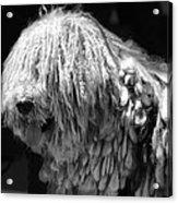 Dreadlock Dog Acrylic Print