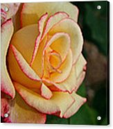 Dream Come True Grandiflora Acrylic Print