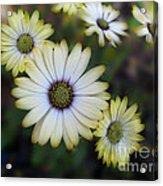 Dream Daisy Acrylic Print