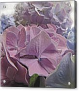Dream Hydrangeas Acrylic Print
