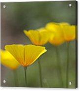 Dreamy California Poppies - Eschscholzia Californica Acrylic Print
