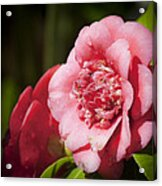 Dreamy Camellia Acrylic Print