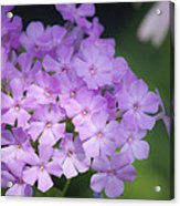 Dreamy Lavender Phlox Acrylic Print