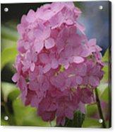 Dreamy Pink Mophead Hydrangea Squared Acrylic Print