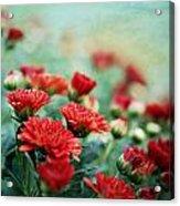 Dreamy Red Mums Acrylic Print