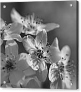 Dreamy Spring Blossoms In Black And White Acrylic Print