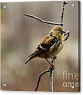 Drenched Finch Acrylic Print