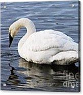 Dribbling Swan Acrylic Print