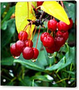 Drips And Berries Acrylic Print