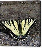 Driveway Butterfly Acrylic Print