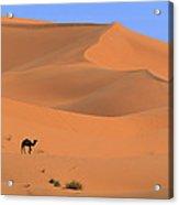 Dromedary Camelus Dromedarius Camel Acrylic Print