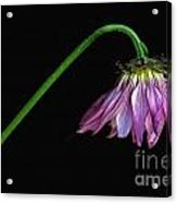Droopy Acrylic Print by Dan Holm