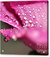 Droplet On Rose Petal Acrylic Print