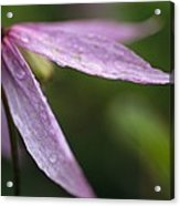 Droplets Of Dew On A Pink Wildflower Acrylic Print