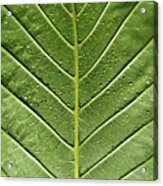 Drops On Poinsettia Leaf Acrylic Print