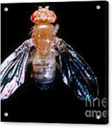 Drosophila With Dichaete Wings Acrylic Print
