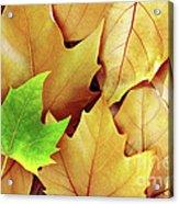 Dry Fall Leaves Acrylic Print by Carlos Caetano
