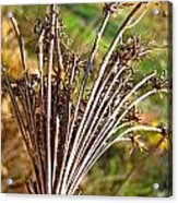 Dry Queen Anns Lace I Acrylic Print