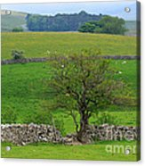 Dry Stone Wall And Twisted Tree Acrylic Print